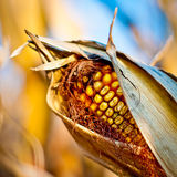 Corn closeup on the stalk. Detail of dried corncob on the field ready for autumn harvesting Stock Photo