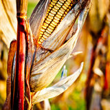Corn closeup on the stalk. Detail of dried corncob on the field ready for autumn harvesting Stock Images