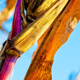 Corn closeup on the stalk. Detail of dried corncob on the field ready for autumn harvesting Royalty Free Stock Image