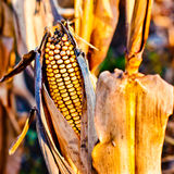 Corn closeup on the stalk. Detail of dried corncob on the field ready for autumn harvesting Royalty Free Stock Photos