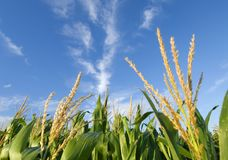Corn and clouds. Corn field on a nice sunny day stock photography