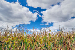Corn and Clouds Stock Images