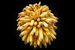 Corn cluster. Golden-yellow round corn cluster drying in black shadow Royalty Free Stock Images
