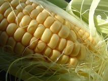 Corn Cob. Close up of a fresh crisp corn cob stock photos