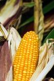Corn cob. Big yellow ripe corn cob and dry leaves Stock Photography