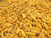 Corn cob. A heap of corn cob Stock Image