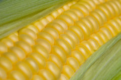 Corn on the cob Stock Images