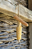 Corn on the cob. Corncob hanging from a thread in a traditional barn Stock Images