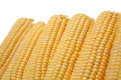 Corn on the Cob. Fresh cobs of sweetcorn (with visible condensation) on white background Stock Images