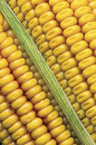 Corn of the cob Royalty Free Stock Image