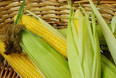 Corn on cob. Fresh corn cobs in a basket closeup Royalty Free Stock Photography