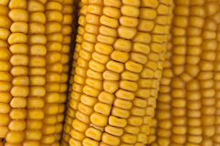 Corn on the cob. Studio shot of corn on the cob Royalty Free Stock Image