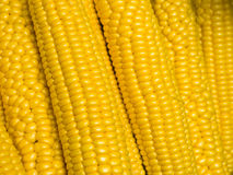 Corn on the cob. Fresh rows of corn on the cob Stock Image