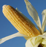 Corn on the cob. Home grown corn on the cob Stock Images