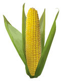 Corn on the cob. Vertical  corn on the cob isolated over white Stock Image