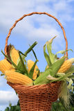 Corn on the Cob. Sweet Corn on the Cob with husks and silk tufts in a basket against a blue sky Stock Photography