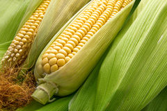 Corn and cob Royalty Free Stock Photo