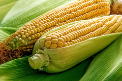 Corn and cob Stock Photo