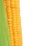 Corn in cob Stock Photography