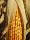 Corn cob, Zea mays Stock Photos
