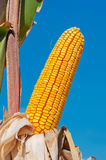 Corn cob Stock Photography