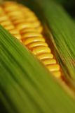 Corn on the Cob. Macro of corn on the cob with husk and corn silk -- narrow depth of field (part of a series royalty free stock image