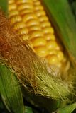 Corn on the Cob. Macro of corn on the cob with husk and corn silk -- narrow depth of field (part of a series stock image