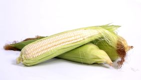 Corn on the Cob. Or maize with leaves on and peeled Royalty Free Stock Photo