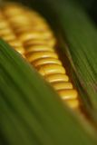 Corn on the Cob. Macro of corn on the cob with husk and corn silk -- narrow depth of field (part of a series stock images