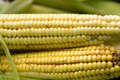 Corn on the cob. Closeup of two horizontal ears of corn Royalty Free Stock Images