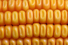 Corn-cob Stock Image