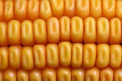 Corn-cob Image stock