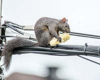 Corn on the Cob for an Agile Squirrel royalty free stock images
