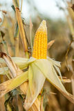 Corn on the cob in an agricultural field Stock Photo