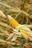 Corn on the cob in an agricultural field Stock Photos