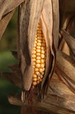 Corn cob in autumn. A closeup or macro view of a corn cob still on the plant in late autumn Stock Photography