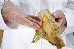 Corn cob is being investigated Royalty Free Stock Photos