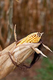 Corn on a Cob with Black Hair Stock Image
