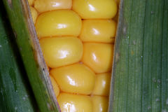 Corn on cob close-up shot Royalty Free Stock Image