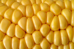 Corn cob closeup Stock Photos