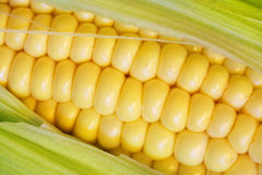 Corn Cob Closeup Stock Photo