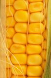 Corn on cob closeup Stock Images