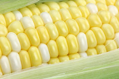 Corn on the Cob Closeup. Macro closeup of corn on the cob with husk Stock Images