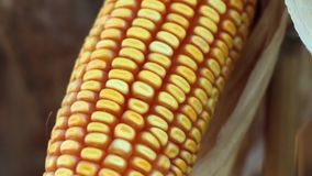 Corn cob closeup stock footage