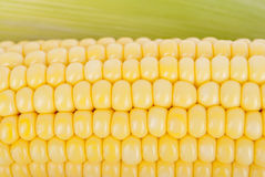 Corn on the cob closeup. Stock Images