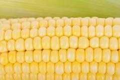 Corn on the cob closeup. Stock Images