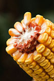 Corn cob Royalty Free Stock Image