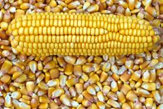 Corn Cob and corn kernel Stock Image