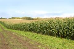 Corn cob . Corn cob on a corn stalk in the field Royalty Free Stock Image