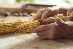 Corn cob. Detail of an elderly woman`s hands holding a corn cob and separating the grains Royalty Free Stock Image